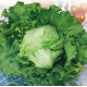 Lettuce Great Lakes Seeds
